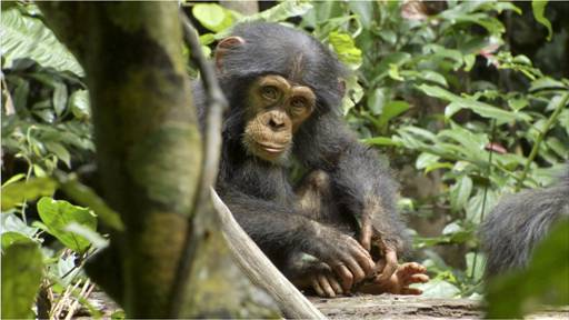 See Chimpanzee on Earth Day